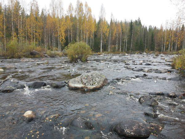 Kunnostettua koskialuetta Ala-Koitajoella. Kuva: Ari Savikko