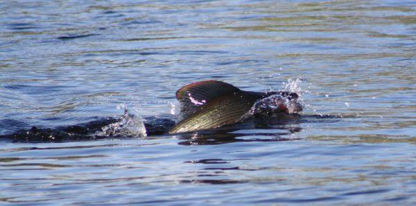 Harjus on vapaa-ajan kalastajille tärkeä kala Iijoella. Kuva: Ari Savikko